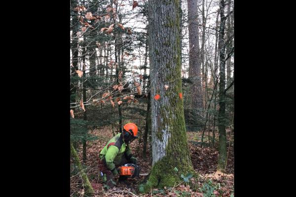 Würenlinger Wald -  Fällen der Eichenstämme für den Saalboden der Dorfschüür - Dezember 2018